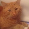 Lost male ginger cat