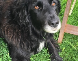 Missing Dog, Collie Cross