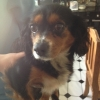 Found - King Charles - Tullow, Co. Carlow
