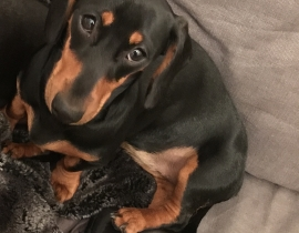 Lost Elli - mini dachshund from Griffith park, Dublin 9