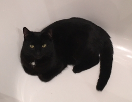 Black male cat Missing