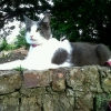 White/Grey Male Cat missing in Cabra