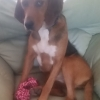 Found: Black & Tan female Foxhound