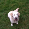 Golden Retriever found in in Peterstown, Trim on the Navan road