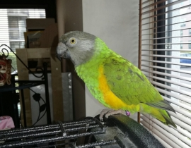 African Senegal Parrot missing