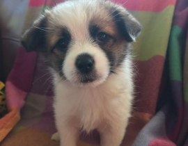 Lost - Puppy - Moynalvey (Meath)
