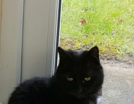 Millie Black cat missing from Lucan since wed 29th May