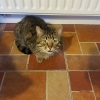Lost Harry tabby 2,5 years small cat in Blackrock co louth