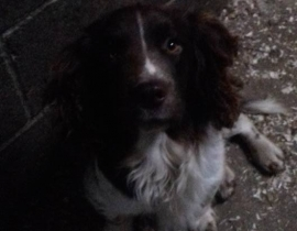Found - springer spaniel type dog