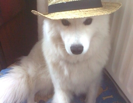 Samoyed Female Missing