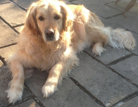 Golden Retriever Sofie missing Louth Village