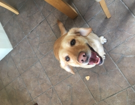 Golden Labrador small found in Clonsilla Dublin 15