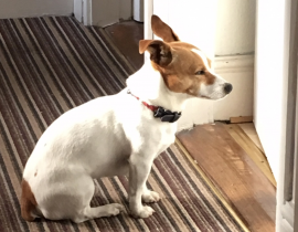 Missing Jack Russell Lough area cork city