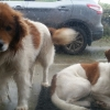 2 brown and white dogs