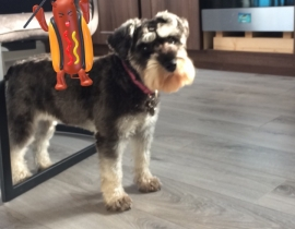 MISSING MINIATURE SCHNAUZER CORK