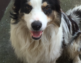 Found Male Collie
