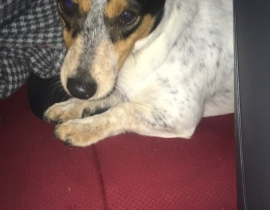 Jack Russell found in sallins