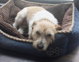 Dog Missing from Raheny St Anne's park