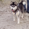 Siberian Husky missing in Crossbarry area