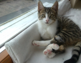 Lost cat 2 month old in Ashbourne co.Meath