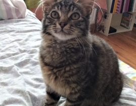 Male tabby cat lost - Aylesbury in Tallaght