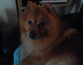 Male Pomeranian, lost in barrack st