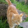 Friendly ginger cat