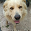 male golden retriever x  dungourney road