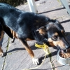 Collie/German Sheperd mix - Found at Offaly/Tipperary/Laoise border
