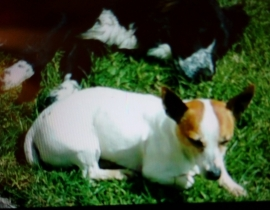 Missing jack Russell