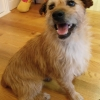Small wire haired terrier from in Carrickmines area