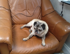 Pug lost in Walkinstown