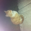 Ginger Cat Found D13