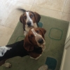 2 X MALE BASSET HOUNDS