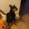 Lost Miniature Pinscher Black and Tan, 7 years old and chipped.