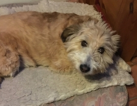 Missing Light Brown Collie/Wheaten Terrier Mix!!!