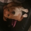 Found female Jack Russel X in Drimnagh