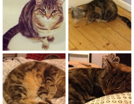 Missing Tabby/Tortise Cat