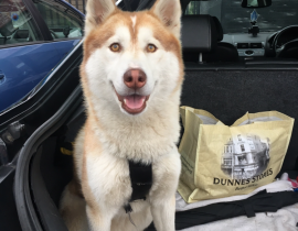 Husky found in santry coolock area