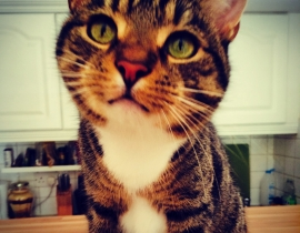 Tabby Cat Missing from Whitehall