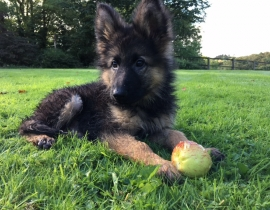 MISSING: Male German Shepherd Puppy