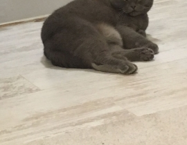Lost Scottish Fold cat, The Cairn area in RUSH (Co. Dublin)