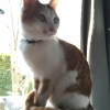 Lost ginger and white cat in Drimnagh area - Ginkgo
