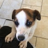 Female Jack Russel Strayed In