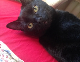 Freddie - black cat lost in Leixlip