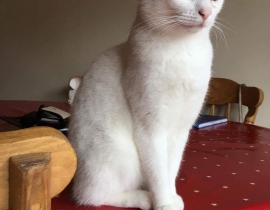 White cat missing