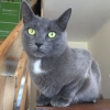 Lost blue cat female