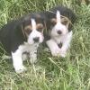 Two beagle pups missing