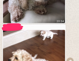 Male and female  cavachon lost in beltra