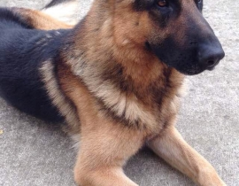Missing German Shepherd